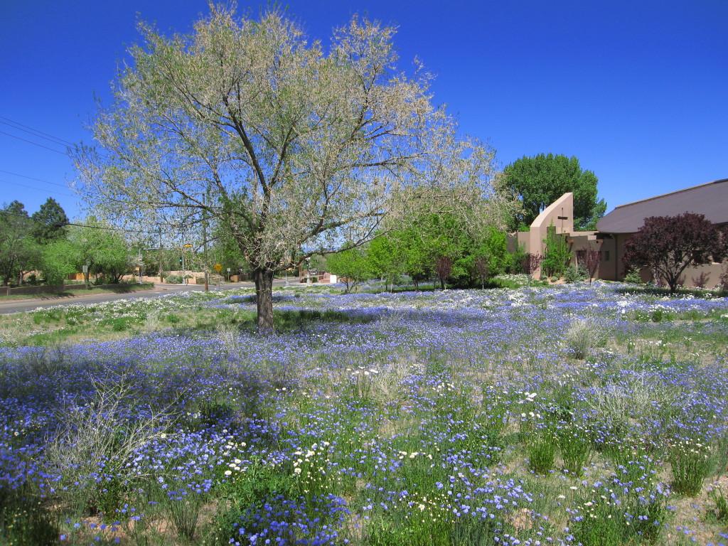 Santa Fe bluebells