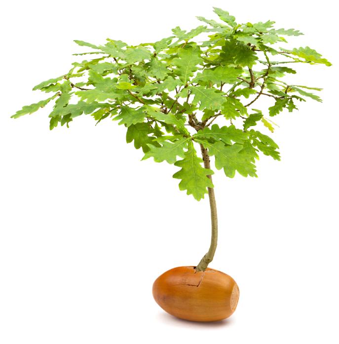acorn into tree